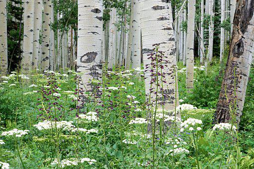 Aspen, Forest, Wildflower, Colorado, White, Green