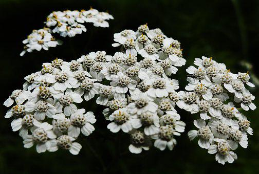 Yarrow, Flowering Plant, Tongue Blooms, Flowers