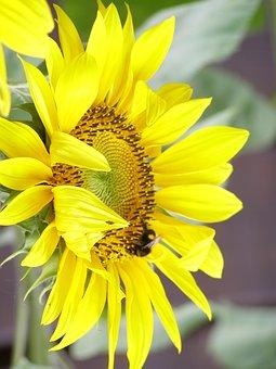 Sunflower, Yellow, Summer