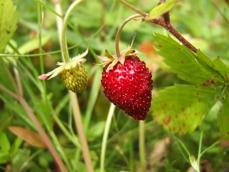 Berry, Wild Strawberry, Garden, Nature, Macro, Plant