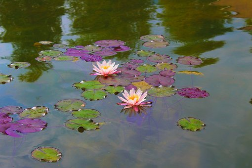 Water Lily, Beautiful, Nature, Blossom, Bloom