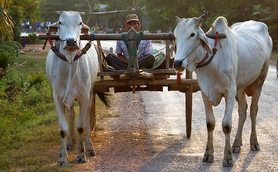 Ox, Drawn, Cart, Battambang, Cambodia, Asia
