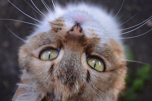 Cat, Eyes, Snout, Housecat, Pet, Cat Eyes, Fluffy Cat