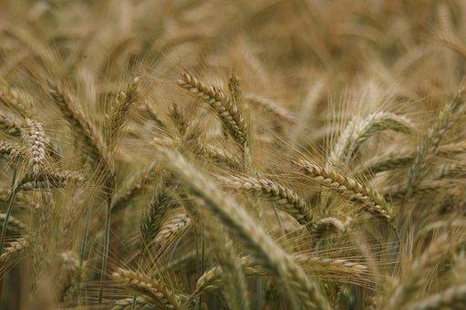 Cereals, Plant, Grain, Ear, Field Crops, Cornfield