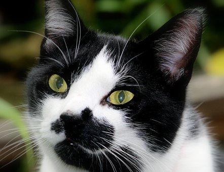 Cat, Eyes, Animal, Pet, Feline