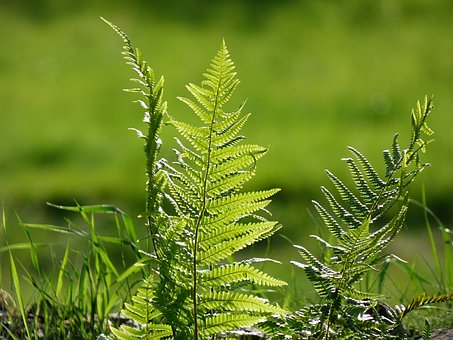 Fern, Nature, Green, Leaves, Plant