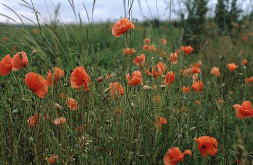 Meadow, Nature, Poppies, Landscape, Field, Grasses