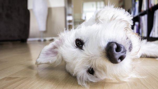 Dog, Floor, Face, Lifestyle, White, Animal, Pet, Home