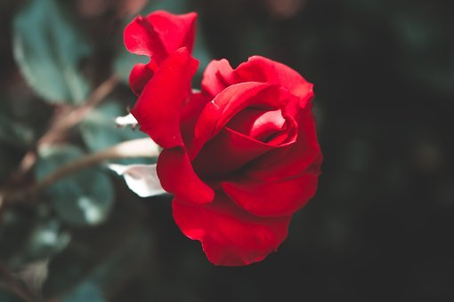 Rose, Red Rose, Red, Flower, Love, Romance, Nature