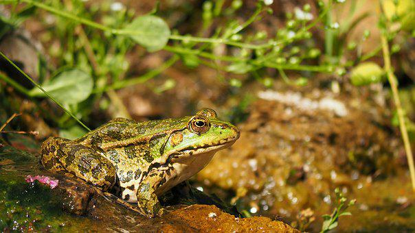 Nature, Amphibians, Frog, Water Lily