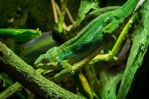 Lizard, Green, Gecko, Green Gecko, Animal World, Close
