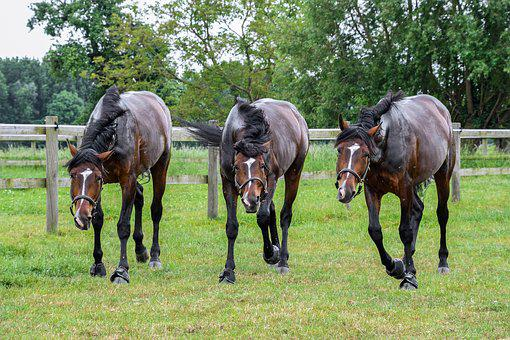 Horse, Call, Mounting, Three, Horses, Pre