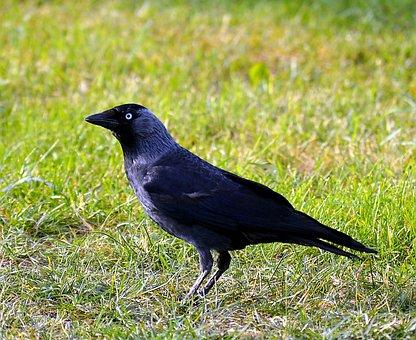 Jackdaw, Bird, Black, Animals, Raven Bird, Nature, Home