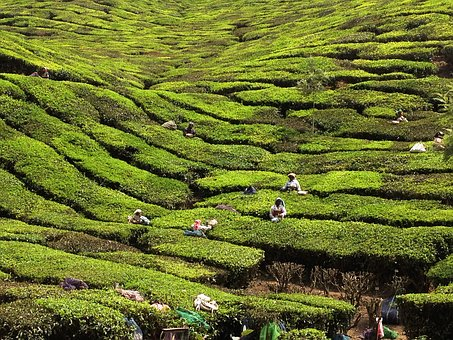 Kerala, India, Tea Planters