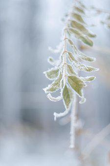 Leann, Cold, Leaves, Branch, Winter, Nature, Frost