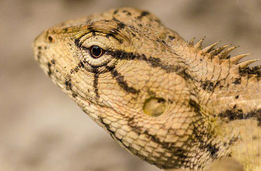 Macro, Lizard, Animal, Reptile, Wildlife, Nature, Skin