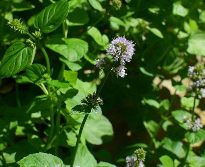 Mint Flower, Mint, Herb, Fragrant, Garden, Plant