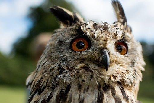 Owl, Hawking, Bird, Nature