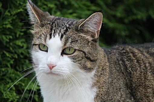 Cat, Domestic Cat, Pet, Green Eyes, Mieze, Animal