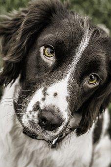 Dog, Springer, Face, Animal, Pet, Spaniel, Canine