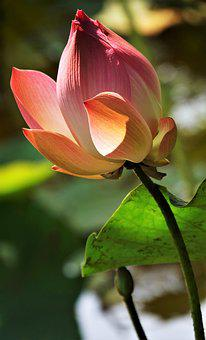 Water, Lily, Lotus, Pink, Pond, Plant, Garden, Blossom