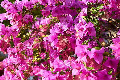 Flower, Purple, Spring, Purple Bunches, The Leaves Are