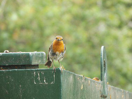 Robin, Bird, Wildlife, Wild, Nature, Red, Garden