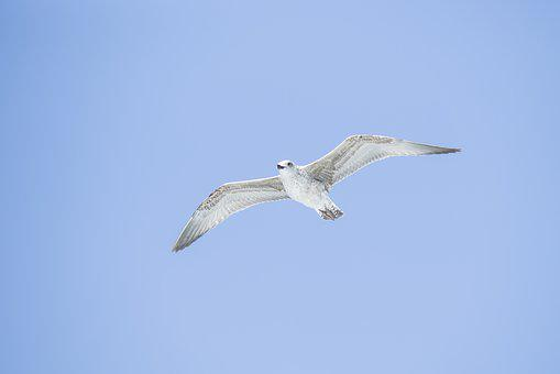 Seagull, Bird, White, Wing, Wings, Background, Sky