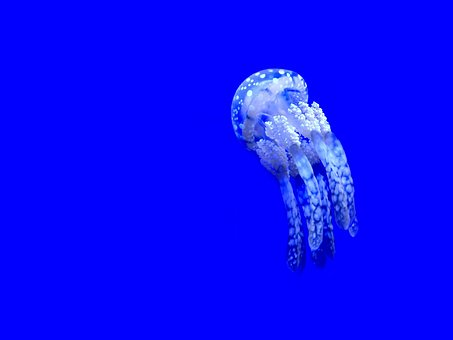 Jellyfish, Aquatic, Animal, Ocean, Underwater, Blue
