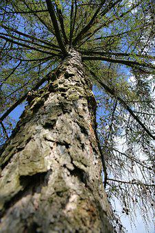 Tree, Branch, Wood, Plant, Summer, Natural, Pine
