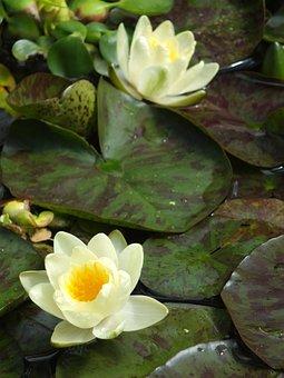 Lily Pad, Lily, Water, Pond, Lotus, Bloom, Aquatic