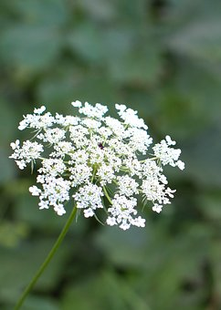 Queen Anne's Lace, Flower, Green, Nature, Queen, Lace