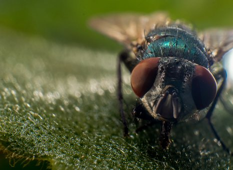 Fly, Macro, Nature, Insect, Close, Animal
