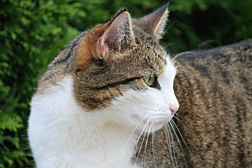Domestic Cat, Cat, Mieze, Pet, Animal, Adidas