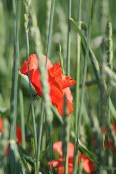 Poppy, Summer, Red, Meadow, Plant, Mohngewaechs