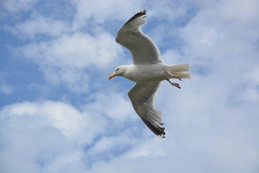 Seagull, Stolen, Flight Birds, Sky, Animal, Wings