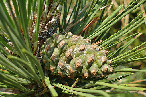 Tap, Green, Macro, Pine, Branches, Nature, Summer