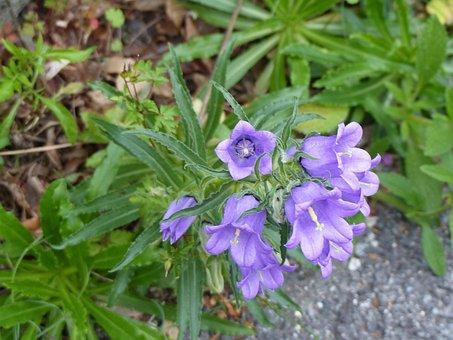 Campanules, Flowers, Nature, Flowering, Blue, Purple