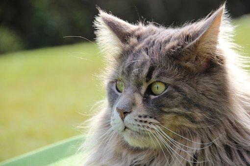 Cat, Maine Coon, Pet, Longhair Cat, Cat Face, Main Coon