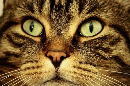 Cat, Eyes, Cat's Eyes, Animal, Cat Face, View, Mackerel