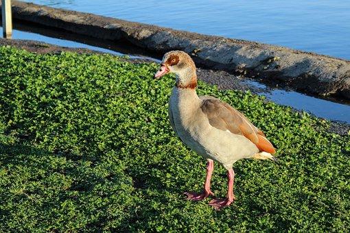 Egyptian Geese, Bird, Nature, Grass, Lake, Shoreline