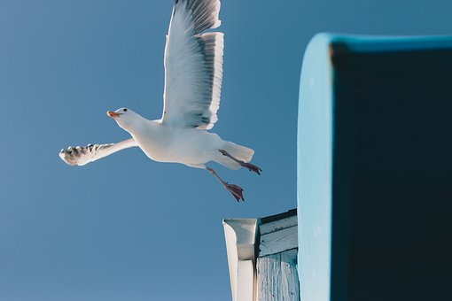 Seagull, Bird, Animal, Blue, Sky, Nature