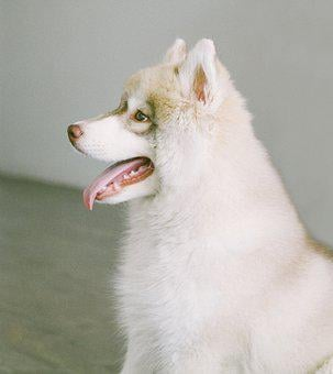 Dog, Puppy, Animal, White, Husky, Tongue, Cute