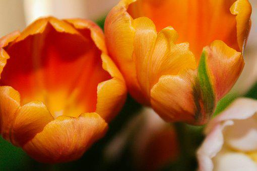 Tulips, Orange, Arrangement, Bouquet, Flowers, Nature
