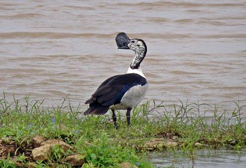 Duck, Bird, Knob-billed Duck, Sarkidiornis Melanotos