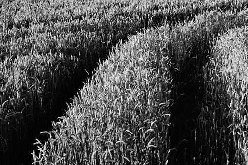 Field, Grass, Crops, Rice, Plantation, Black And White