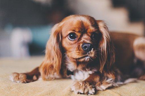 Dog, Animal, Puppy, Brown, Fur, Home, Bokeh, Blur
