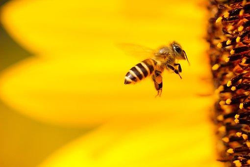 Bee, Yellow, Wings, Flying, Sunflower, Flower, Bokeh