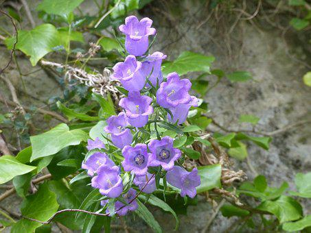 Bellflower, Nature, Flowers, Purple, Plants