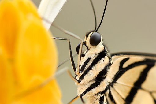 Insect, Butterfly, Closeup, Flower, Eyes, Wings, Fur